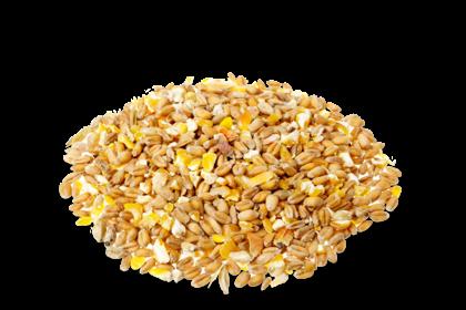 Card image corn-germ
